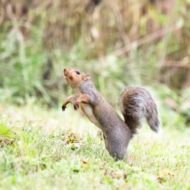 A squirrel stands on its hind legs in the grass.