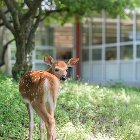 A deer looks back into the camera while standing on green grass.