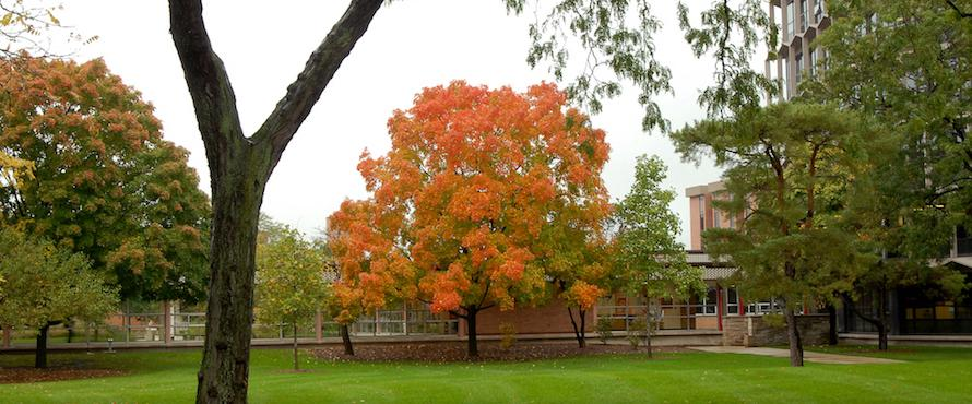 A maple tree in autumn colors of orange and yellow